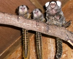 Geoffroys Common Marmoset Babies at Porfell Wildlife Park, Cornwall