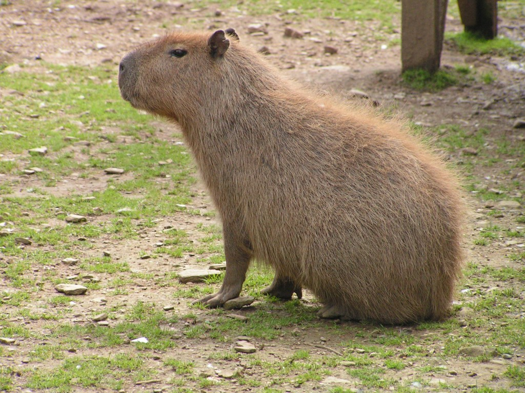 Capybara in Cornwall, nr Looe | Porfell Wildlife Park & Animal ...